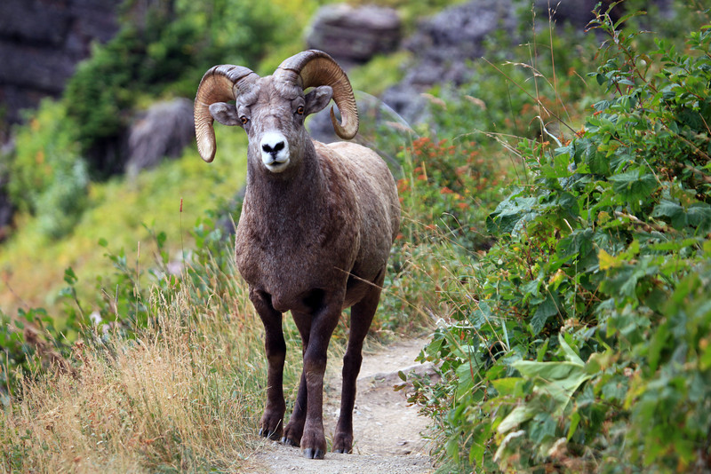 On a 14 mile round trip hike to Grinnell Glacier we found ourselves sharing the trail with this Bighorn Ram.  He didn't want to retreat off the trail so we did.  He passed by within touching distance.  We really didn't have anywhere to go as we were on a rock ledge and he didn't seem overly bothered by us.  It was amazing!