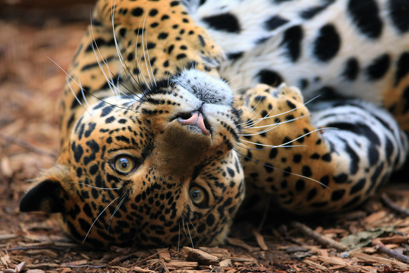 """Captured this unique photo while at the local zoo.  The usually elusive leopard came out and put on quite the show.  This was my favorite pic of the day.  <a href=""""http://animals.nationalgeographic.com/animals/mammals/leopard/"""">http://animals.nationalgeographic.com/animals/mammals/leopard/</a>"""