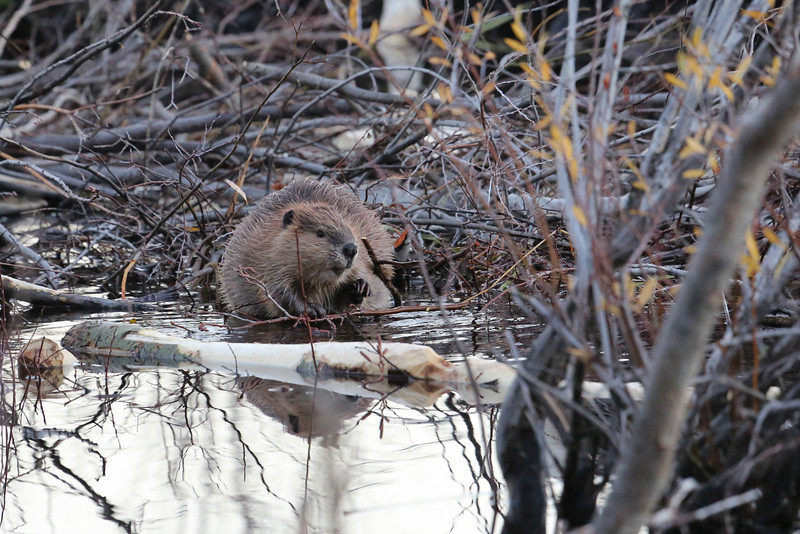 "A beaver we spotted on Moose Wilson Road...we saw about six of them in this location. <a href=""http://animals.nationalgeographic.com/animals/mammals/beaver/"">http://animals.nationalgeographic.com/animals/mammals/beaver/</a>"