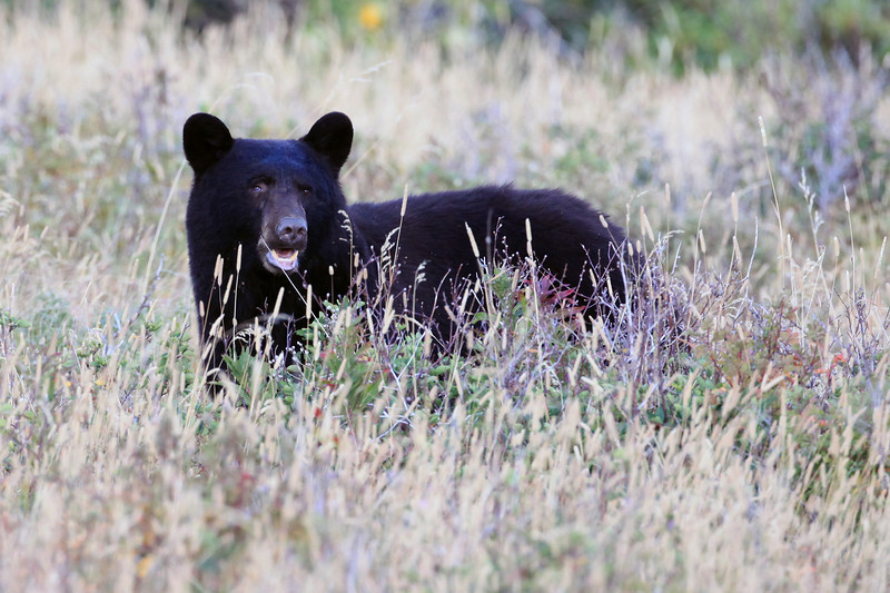 """On our first day in Glacier we were making our way to our accommodations in the many glacier area.  We were passing Mary's Lake and saw this black bear eating berries.  First wildlife shot of the trip and first bear as well.  <a href=""""http://www.nps.gov/glac/naturescience/bears.htm"""">http://www.nps.gov/glac/naturescience/bears.htm</a>"""