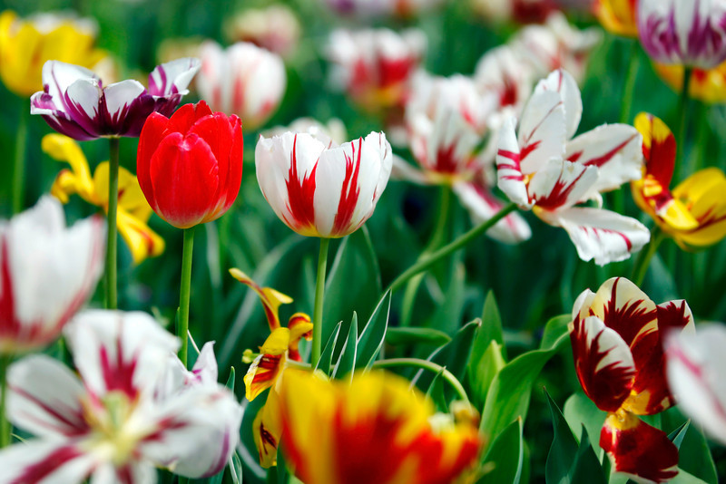 "While walking through Woodward Park I found this bed of multicolored Tulips.  It was not the best day for photography but the color was to much to resist.  <a href=""http://gardeningtips.org/Tulip.shtml"">http://gardeningtips.org/Tulip.shtml</a>"
