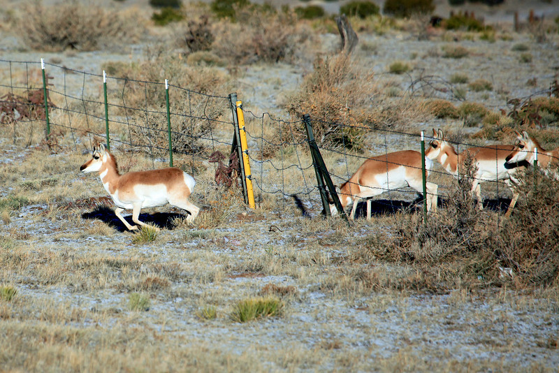 This group of Pronghorns were crossing from one pasture to another and instead of jumping over the fence they found a place to go under (pronghorns don't jump).  We watched 30 to 40 antelope go under this fence at this location near Walsenburg Colorado.