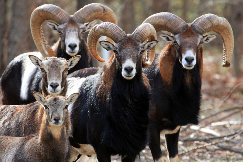 "A group of Mouflon sheep photographed at the Calvary Boy's Ranch in Eufaula Oklahoma. Mouflon are native to the Caucasus, northern Iraq, and Iran.  Small herds are also found in Cyprus, Corsica, and the Balkans.  In the US they are captive bred and often sold to Big Game farms where they are hunted for trophy mounts.  <a href=""http://www.blueplanetbiomes.org/mouflon.htm"">http://www.blueplanetbiomes.org/mouflon.htm</a>"