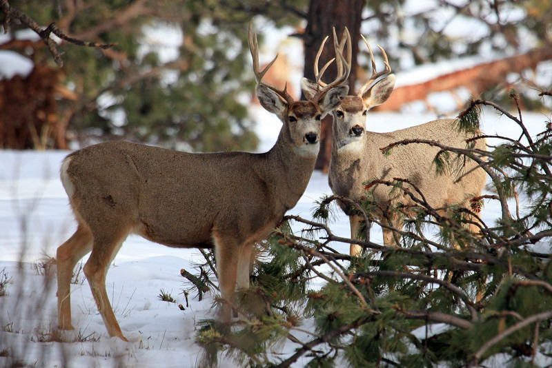 "I photographed these two Mule Deer bucks near Horn Creek Lodge in Colorado.  <a href=""http://www.horncreek.org/"">http://www.horncreek.org/</a>"