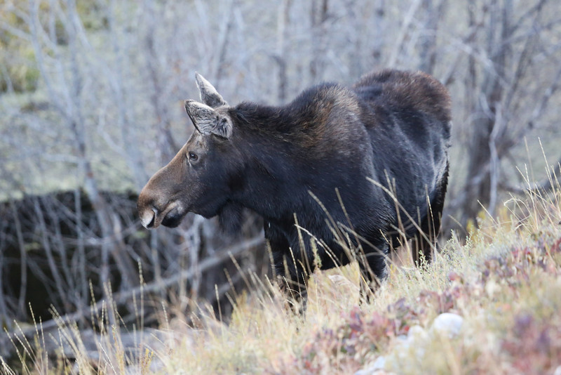 A moose photographed late in the evening along Moose Wilson Road.  Grand Tetons
