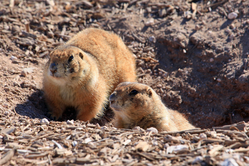 "Prairie Dogs can be seen everywhere in the Lubbock Texas area.  I stopped at Mackenzie Park and visited the Prairie Dog town there and snapped this shot of these two sharing a burrow.  <a href=""http://en.wikipedia.org/wiki/Prairie_dog"">http://en.wikipedia.org/wiki/Prairie_dog</a>"