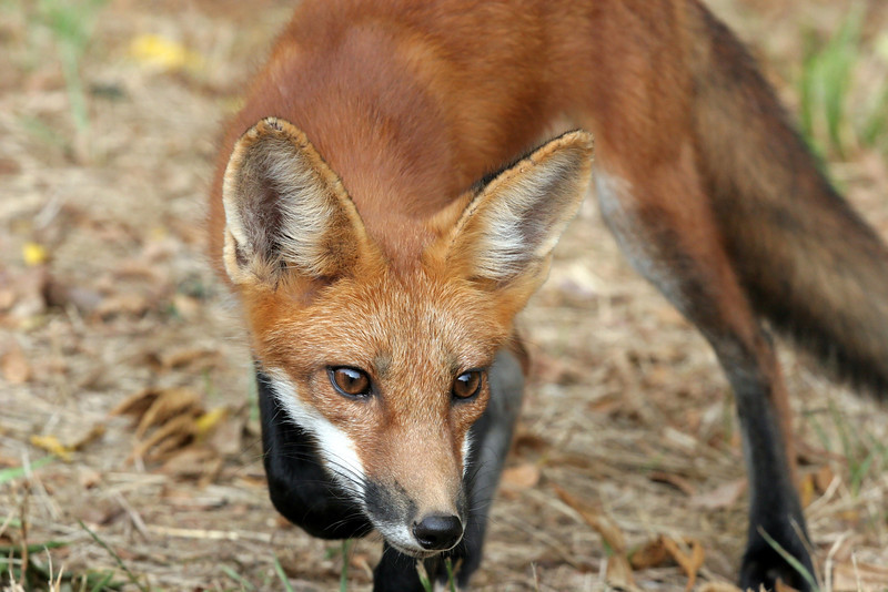 I think this fox was as curious about me as I was of him.  He was looking at Teri and I was probably within 10 yards of him.