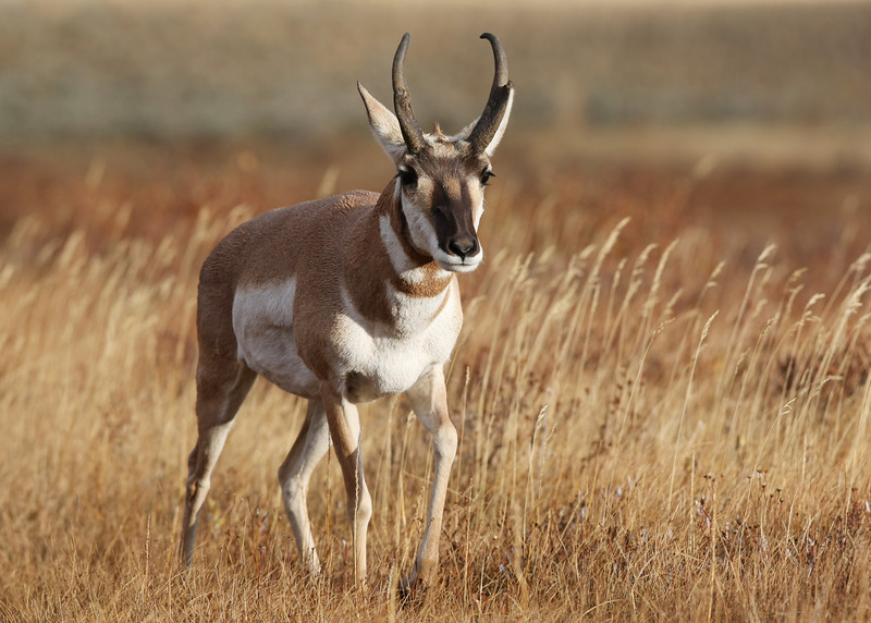 """I was near the Tower-Rossevelt area of Yellowstone and saw this Pronghorn in a shallow valley.  I hiked down about 100 yards and just sat there with my camera. In time the antelope walked within 30 yards of me.  <a href=""""http://www.yellowstone.net/wildlife/pronghorn.htm"""">http://www.yellowstone.net/wildlife/pronghorn.htm</a>"""