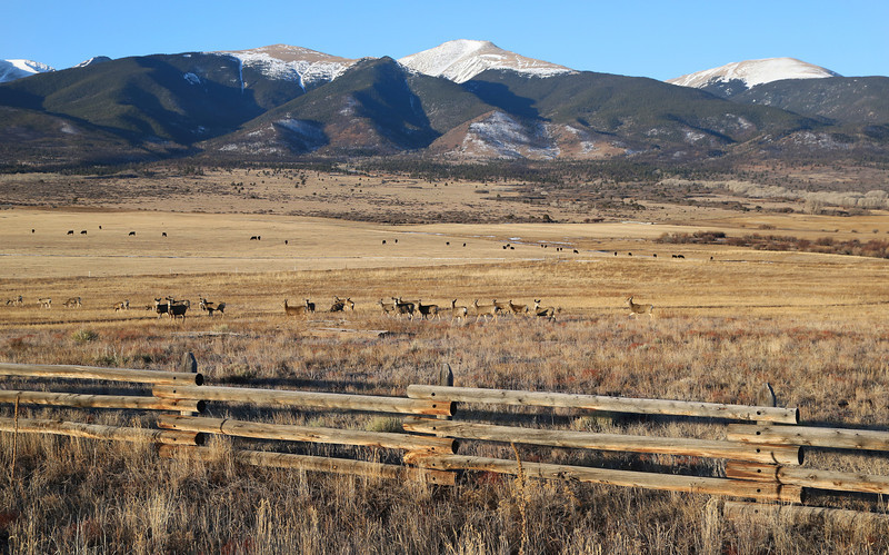 A herd of deer outside of Westcliffe Colorado on our way to Monarch Mountain