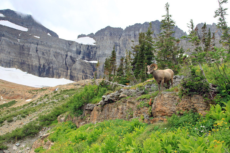 Another favorite photo from last years Glacier trip.  The setting was spectacular and and this Ram was making photography fun and easy on this particular day