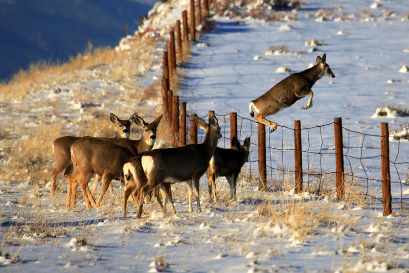 A group of does taking their turn jumping over a fence near Westcliffe Colorado