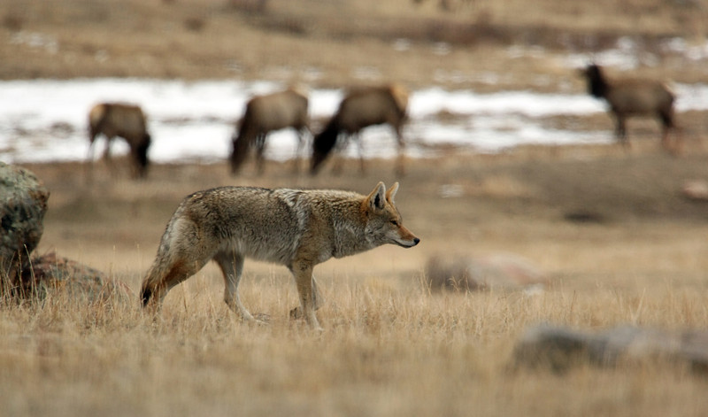 "This coyote was chasing after a rabbit in the Moraine Valley of RMNP.  I snapped this image as he passed these elks in the background.  <a href=""http://www.nps.gov/romo/naturescience/coyote_rmnp.htm"">http://www.nps.gov/romo/naturescience/coyote_rmnp.htm</a>"