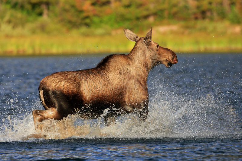 """First and only moose I saw while at Glacier National Park.  She saw a companion standing across the lake and ran to catch up as quickly as possible.  For a while I thought she was coming right at me.  <a href=""""http://www.nhptv.org/natureworks/moose.htm"""">http://www.nhptv.org/natureworks/moose.htm</a>"""