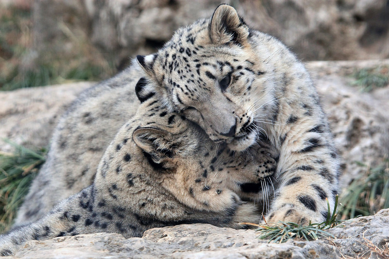 """These Snow Leopard cubs were out playing and I was able to capture this image. Another favorite.  <a href=""""http://en.wikipedia.org/wiki/Snow_leopard"""">http://en.wikipedia.org/wiki/Snow_leopard</a>"""