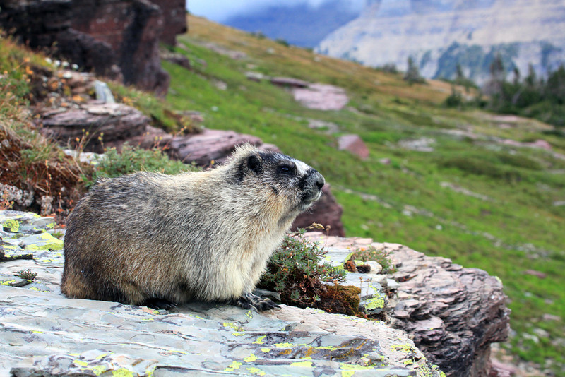"While hiking in Glacier we came across this marmot in a very picturesque setting.  We spent 30 minutes taking photo's.  A great day and memory.  <a href=""http://en.wikipedia.org/wiki/Yellow-bellied_marmot"">http://en.wikipedia.org/wiki/Yellow-bellied_marmot</a>"