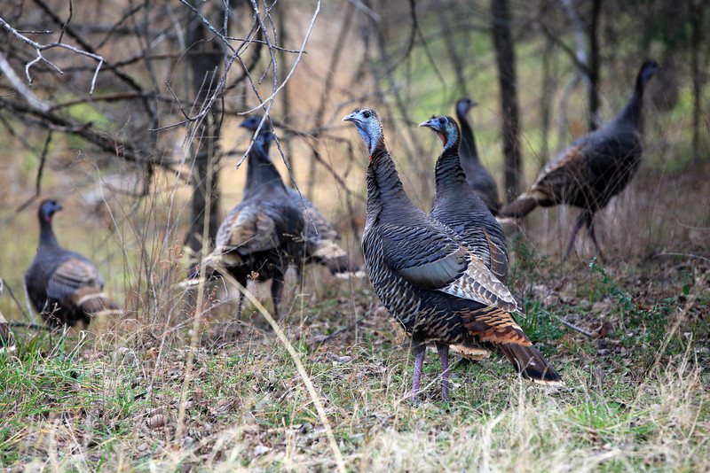 """A small group of wild turkey's photographed near Eufaula State Park in Oklahoma. <a href=""""http://www.statesymbolsusa.org/Oklahoma/gamebird_wildturkey.html"""">http://www.statesymbolsusa.org/Oklahoma/gamebird_wildturkey.html</a>"""
