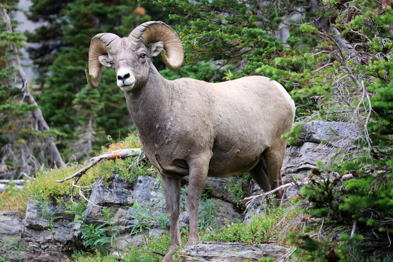 "One of my favorite captures of the Glacier trip.  We were near the rest stop at Grinnell Glacier when this Ram came out and made this perfect pose for us.  <a href=""http://www.nhptv.org/natureworks/bighornsheep.htm"">http://www.nhptv.org/natureworks/bighornsheep.htm</a>"