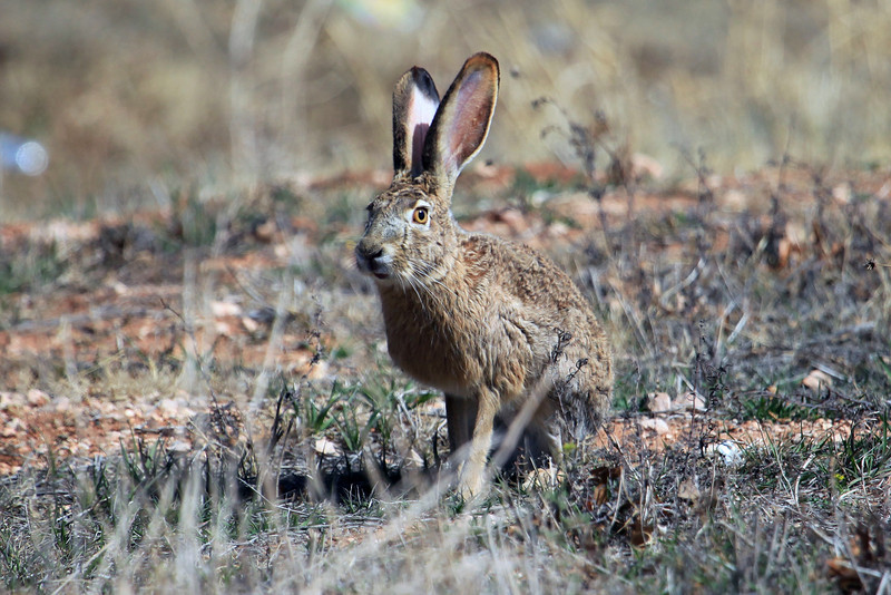 "While traveling in West Texas (Lubbock area) I spotted a group of Jackrabbits and this one stopped long enough to let me get this photo.  <a href=""http://animals.nationalgeographic.com/animals/mammals/jackrabbit/"">http://animals.nationalgeographic.com/animals/mammals/jackrabbit/</a>"