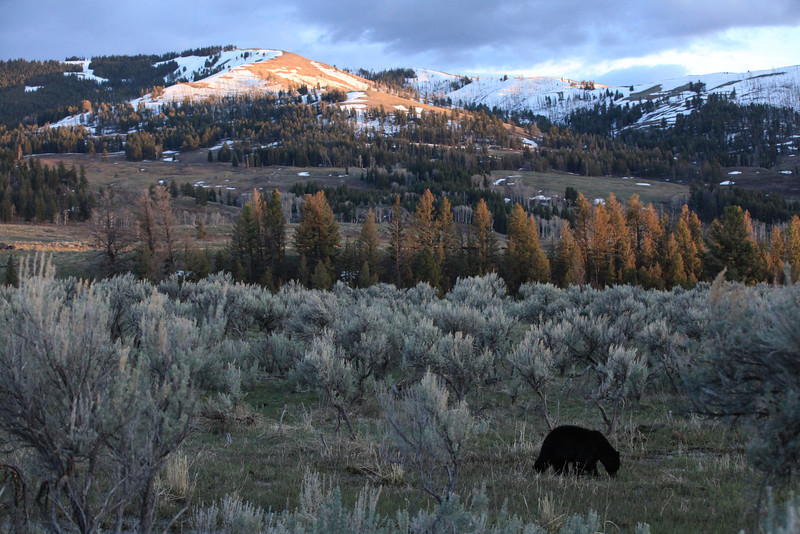"I was leaving Lamar Valley in Yellowstone for the day and the sun was setting.  I saw this black bear near the road and had just enough light to take this picture.  I love the setting and backdrop as it reminds me of the vastness of Yellowstone. <a href=""http://www.yellowstone.net/topten/lamarvalley.htm"">http://www.yellowstone.net/topten/lamarvalley.htm</a>"