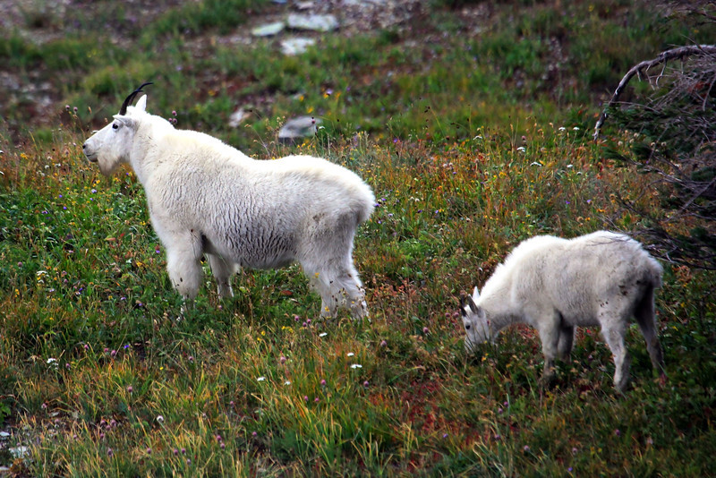 "I shot this photograph at the terminal end of the main trail at Logan's Pass.  Just above Hidden Lake this mountain goat surveyed the valley and I took this picture as he did.  <a href=""http://en.wikipedia.org/wiki/Mountain_goat"">http://en.wikipedia.org/wiki/Mountain_goat</a>"