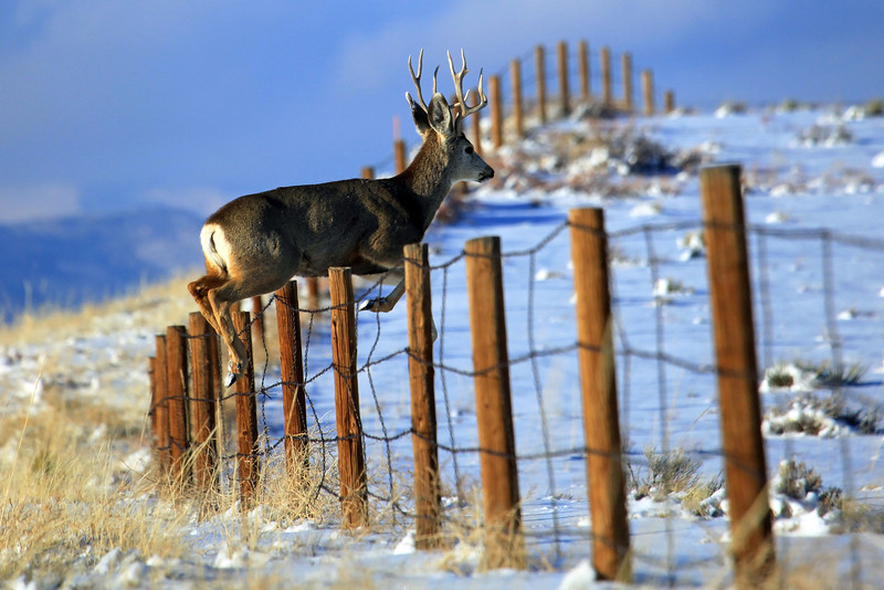 "On a recent trip to Colorado I spotted a group of deer jumping over a fence just outside of Westcliffe Colorado near the Cotapaxi turnoff.  Photographed this Mule Deer Buck in mid-flight. <a href=""http://www.muledeer.org/hunting/mule-deer-facts"">http://www.muledeer.org/hunting/mule-deer-facts</a>"