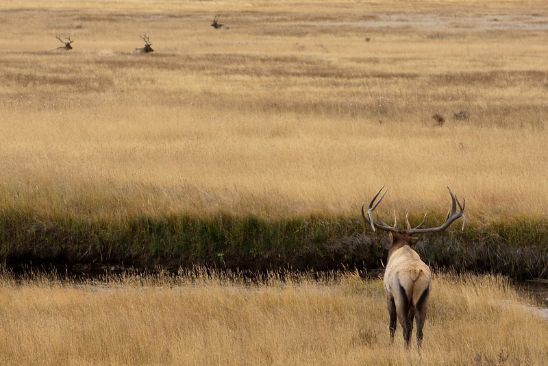 I found this large Bull Elk in the Moraine Park area of Rocky Mountain National Park.  This male was bugling making his presence known to all of the others bulls in the valley.