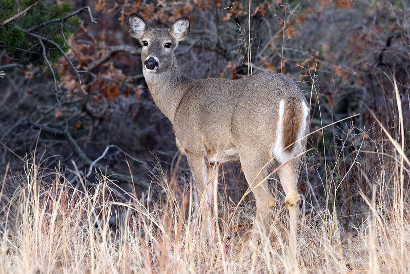 "While speaking at a conference near Quartz Mountain I took a photograph of this particular deer. I din't see any bucks but I must have seen 100 small does like this one.  <a href=""http://www.quartzmountainresort.com/"">http://www.quartzmountainresort.com/</a>"