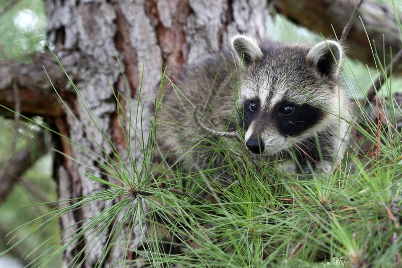"Baby Raccoon.  <a href=""http://animals.nationalgeographic.com/animals/mammals/raccoon/"">http://animals.nationalgeographic.com/animals/mammals/raccoon/</a>"