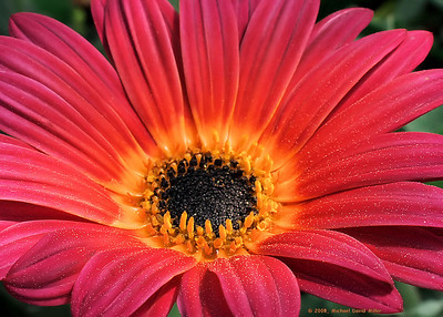 """Pretty In Pink"" - Gerbera Daisy, taken at the Louisiana Nursery Festival. Photo of the Day ""Flowers and Plants"" category, April 3 2008, photographyvoice.com. Oly E510, ZD14-54."
