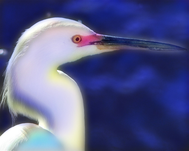 Colorized Egret