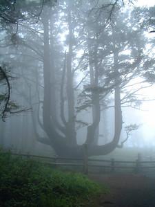 Old Tree, Pacific Coast, Oregon