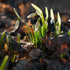 4/6/14<br /> <br /> The snowdrops are about to open; winter is officially over today!