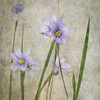 6/4/15<br /> <br /> Blue eyed grass.