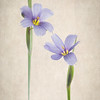 6/3/13<br /> <br /> Blue-eyed grass, one of my favorites!