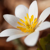 4/17/13<br /> <br /> Bloodroot.