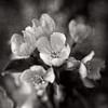 5/16/13<br /> <br /> Crabapple.