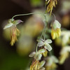 5/4/13<br /> <br /> Early meadow rue.