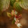 11/20/16<br /> <br /> Raspberry flower before the snow.