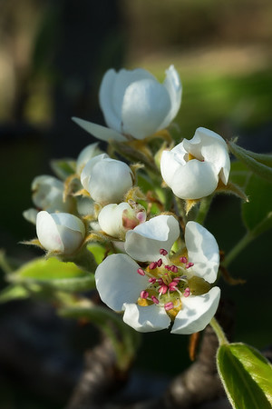 5/8/15<br /> <br /> Pear blossoms.