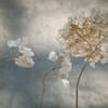 4/3/14<br /> <br /> Hydrangea, against the snow, with shadows.