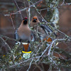 1/27/16<br /> <br /> The Bohemian waxwings are back this morning getting the last fruit off of the crabapple.  The flock was huge, maybe a couple of hundred birds.