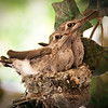 Apr 15 (another edit): Hummingbird babies just before they left the nest.  Post-processing: straightened, brightened, applied unsharp mask, cleaned up misc, added vignette.