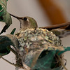 Mar 29: Hummingbird nest. Challenging to get a good shot, and this one isn't great, but I learned more each day about what worked and what didn't. This one I fixed the exposure a bit, cropped in, and applied a little unsharp mask.