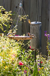 June 15: An assortment of finches in a friend's yard.