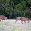 August 3: Doe and fawns at Rancho San antonio