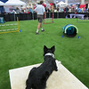 Feb 26, Agility demo on fake turf at the Santa Clara County Fairgrounds. Ernie and his dog.