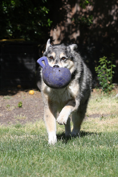 May 6 also: Tika fetching her favorite toy in the yard