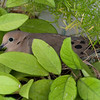 April 18: Mourning dove on nest.