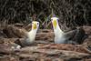Waved Albatrosses on Nest - on canvas