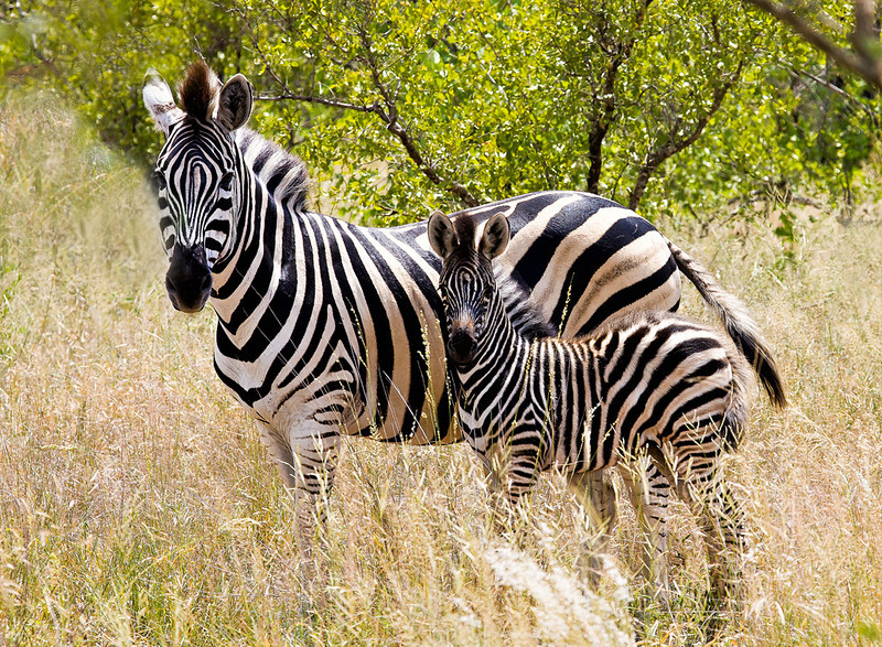 Two Zebras on canvas
